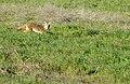 Coyote 2 (11074323076).jpg