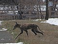 Coyote Crossing the Hiking Trail at Metzger Farm Open Space, Colorado (26091432976).jpg