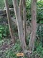 Crape Myrtle (Lagerstroemia indica 'Tuscarora') - Old Stone House Park - Georgetown - Washington DC -juli 2012- (7703209604).jpg