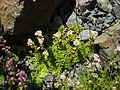 Crassula setulosa 'Milfordiae' 1.JPG