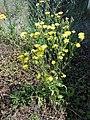 Crepis setosa inflorescence (21).jpg
