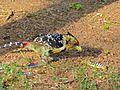 Crested Barbet (Trachyphonus vaillantii) (6888618542).jpg