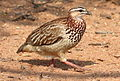 Crested Francolin, Dendroperdix sephaena at Borakalalo National Park, South Africa (9937737996).jpg