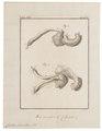Cricetus frumentarius - ingewanden - 1700-1880 - Print - Iconographia Zoologica - Special Collections University of Amsterdam - UBA01 IZ20500039.tif
