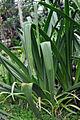 Crinum mauritianum.jpg