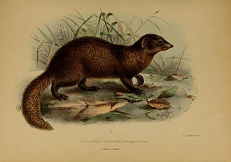 Pousargues's mongoose - Original drawing of Dologale dybowskii associated with the species description