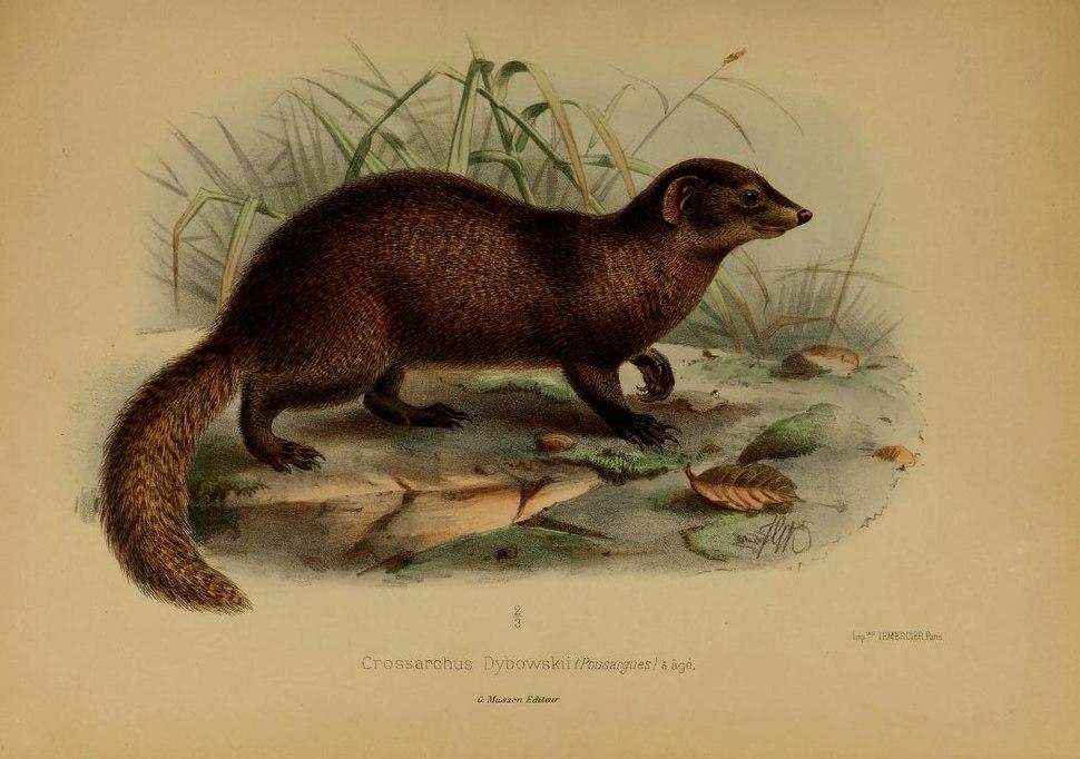 Crossarchus dybowskii (Pousargues, 1893) - illustration originale