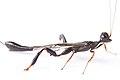 Crown wasp (Stephanidae- Megischus bicolor) (27142882104).jpg