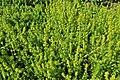 Cruciata laevipes kz01.jpg