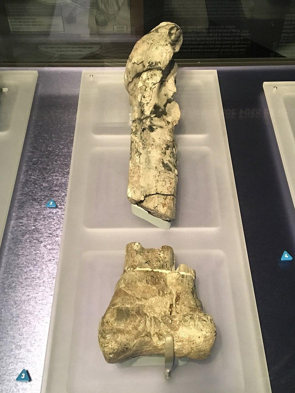 Cryolophosaurus Left Tibia Fossil