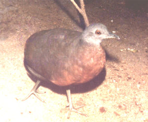 Brown tinamou - Image: Crypturellus obsoletus