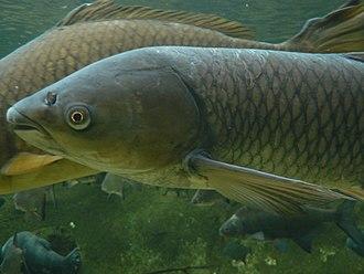 Grass carp - Image: Ctenopharyngodon idella 01 Pengo