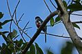 Cuban Trogon (Priotelus temnurus) (8592688206).jpg