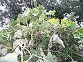 "Cucurbita argyrosperma ""calabaza rayada o cordobesa"" (Florensa) hábito hojas follaje amarillento oidio.JPG"