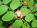 Cup and Saucer Plant Holmskioldia sanguinea by Raju Kasambe DSCF9933 (1) 06.jpg