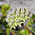 Curtiss milkweed (Asclepias curtissii) (6023865184).jpg