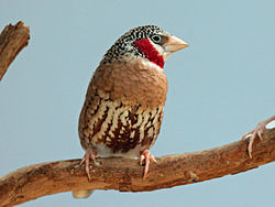 Cut-throat Finch male RWD9.jpg
