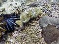 Cuttlefish (207959661).jpeg