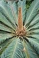 Cycas revoluta male kz01.jpg