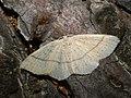 Cyclophora punctaria - Maiden's blush - Кольчатая пяденица точечная (26100583667).jpg