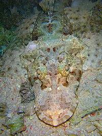 Cymbacephalus beauforti.jpg