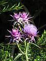 Cynara baetica maroccana (9441273435).jpg