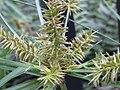 Cyperus hermaphroditus.jpg