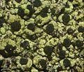 Cyphelium pinicola - Flickr - pellaea.jpg