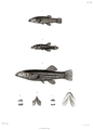 Cyprinodontidae-Humboldt-T052.png