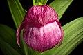 Cypripedium macranthos Sw., Kongl. Vetensk. Acad. Nya Handl. 21 251 (1800) (47102511594).jpg