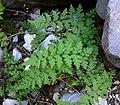 Cystopteris fragilis 1.jpg