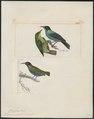 Dacnis spiza - 1700-1880 - Print - Iconographia Zoologica - Special Collections University of Amsterdam - UBA01 IZ19000389.tif