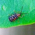 Dactylispa sp, Chrysomelidae 2.jpg