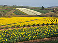 Daffodil fields at Tregantle 1.jpg