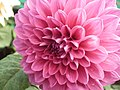Dahlia from lalbagh 1941.JPG