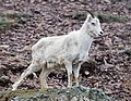 Dall Sheep (2b20f780-a14b-4ab7-bd5e-086f79370208).jpg