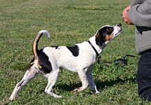Danish Farm Dog1604fxcr wb.jpg