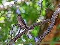 Dark-sided Flycatcher (Muscicapa sibirica) (36334036455).jpg
