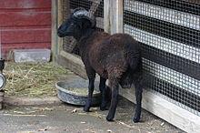 hog island sheep wikipedia