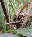 Dark bush-cricket (Pholidoptera griseoaptera), Biggleswade, Bedfordshire (9701812945).jpg