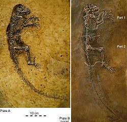 Slab (specimen PMO 214.214) and counter-slab (specimen WDC-MG-210 reversed for comparison) of the Darwinius masillae holotype fossil