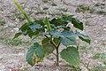 Datura inoxa-2401 - Flickr - Ragnhild & Neil Crawford.jpg