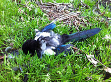A dead magpie