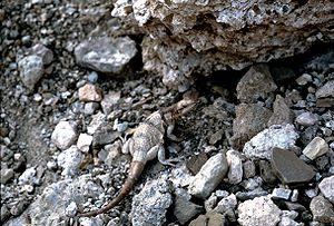 Chuckwalla - Chuckwalla (S. ater) in rocky area of Death Valley National Park