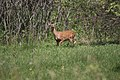 Deer @ Pike Lake - panoramio.jpg
