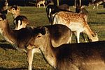 Deer at the Sigean zoological park.jpg