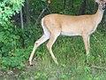 Deer scared from thunder - panoramio.jpg