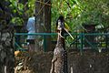 Deer standing from trivandrum zoo.jpg