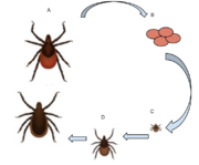 Deer tick life cycle -4.png