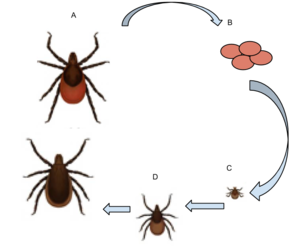 Ixodes scapularis - Deer Tick life cycle